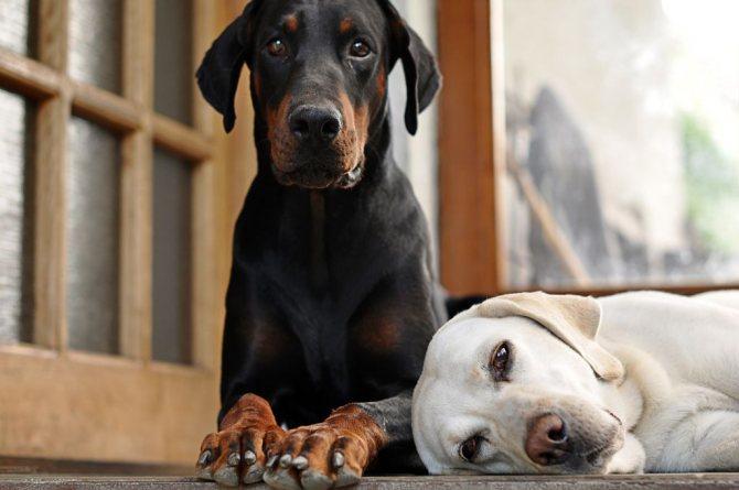Прател для собак: инструкция по применению, состав и форма выпуска, противопоказания и побочные действия