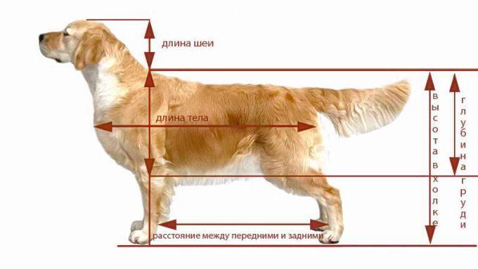 правила измерения собаки