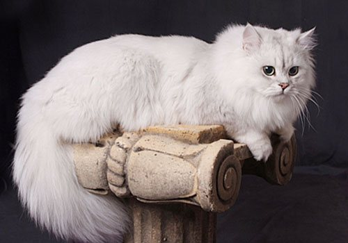 правила кормления кошек породы Шантильи-Тиффани