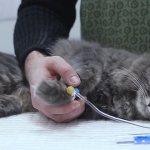 Правила ухода за котом в первые дни после кастрации и дальнейшие изменения