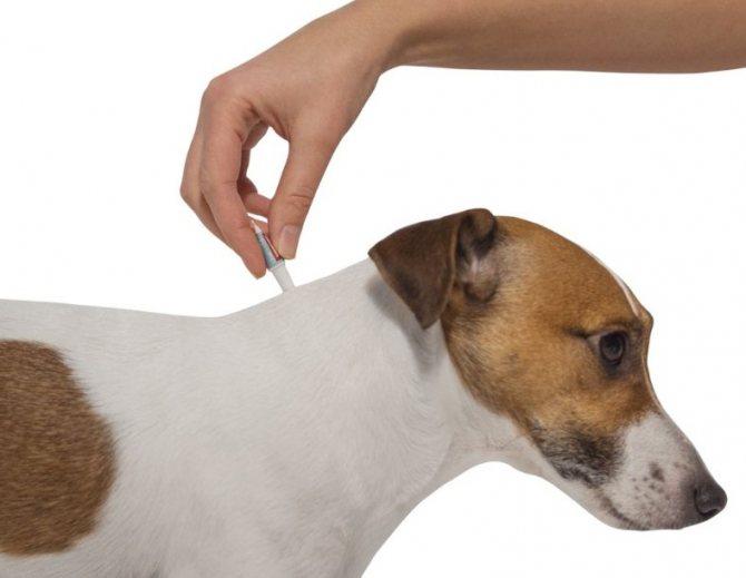 Правильное нанесение капель на холку собаки против течки