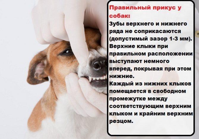 Правильный прикус у собак