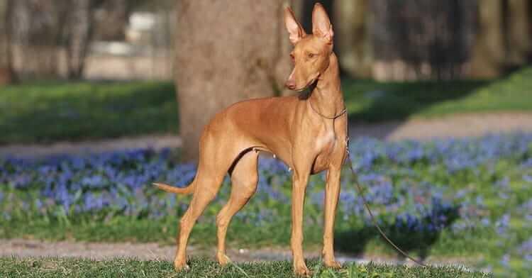 Предназначение собак чирнеко дель этна