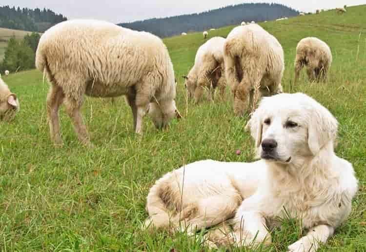 Представители породы польская подгалянская овчарка - очень умные и надежные друзья.