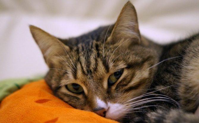 Препараты для печени для кошек: гепатопротекторы, лекарства для печени для кошек