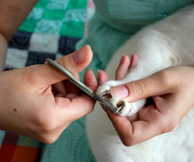 При чрезмерной обрезке когтя существует риск задеть кровеносный сосуд