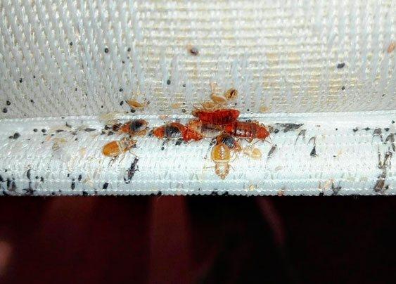 При какой температуре погибают клопы и их личинки?