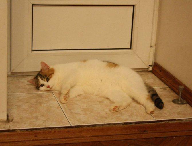 При обильном кровотечении у кошки необходимо хирургическое вмешательство
