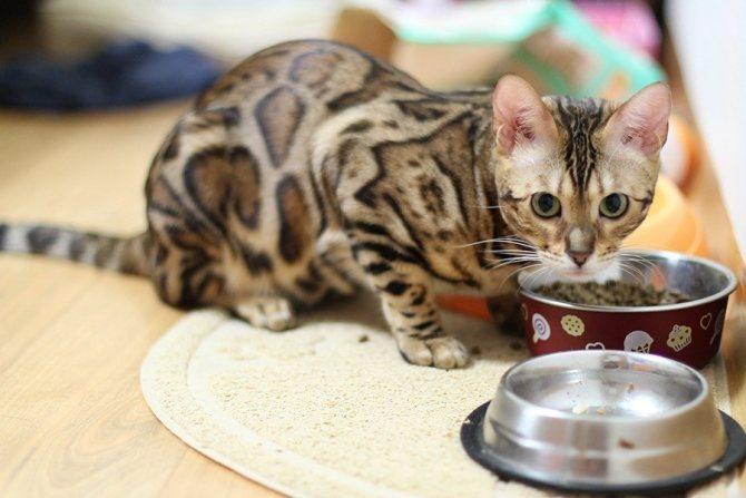 При переведении кошки на сухое кормление следует контролировать наличие в кошачьей поилке необходимого количества чистой воды
