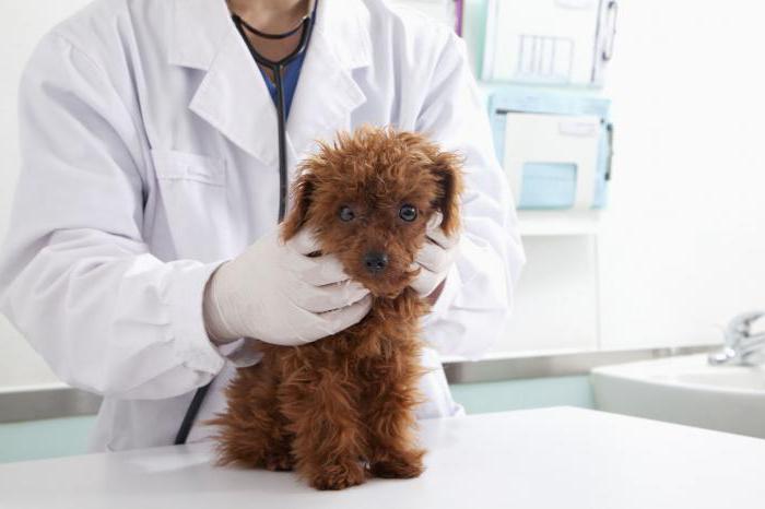 При подозрении на боррелиоз собаку необходимо срочно отвести к ветеринару