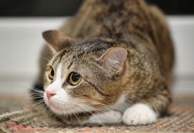 При стрессе кошка чего-то боится