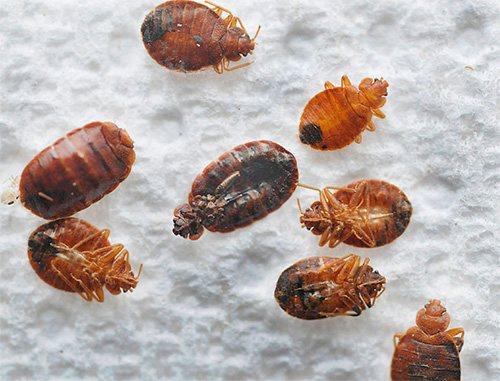 При температуре минус 20 большая часть взрослых клопов может погибнуть, чего нельзя сказать об их яйцах.