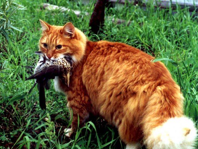 Причина отравления кота часто заложена в природном охотничьем инстинкте. Котик словил дичь