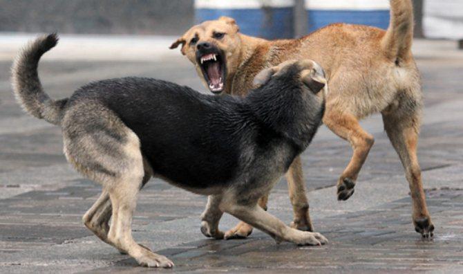 Причиной абсцесса может быть инфицированная рана после боя с другой собакой