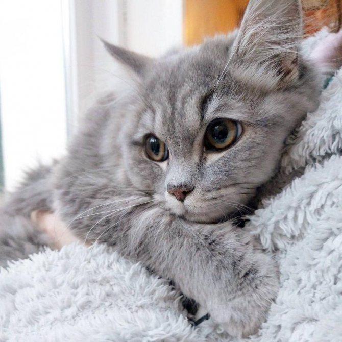 причины эндометрита у кошек