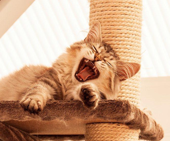 Причины громких воплей кота