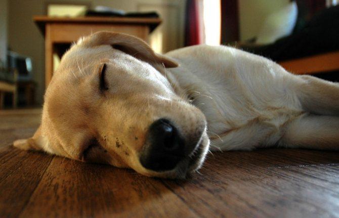 Причины храпа у собак
