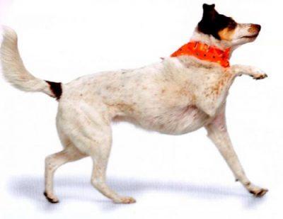 причины хромоты собаки