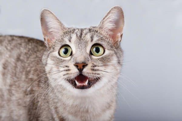 Причины крика у кошек