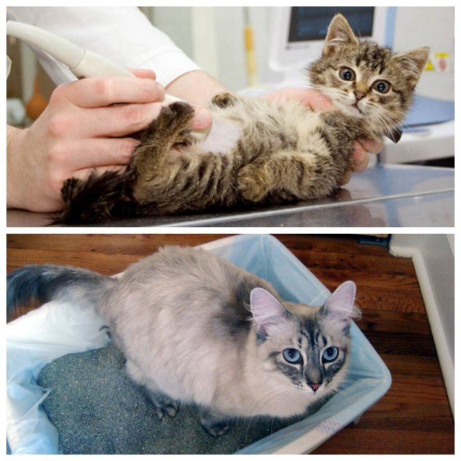 Причины крови или слизи из заднего прохода у кошки