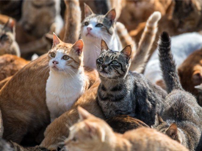 Причины ложной беременность у кошек