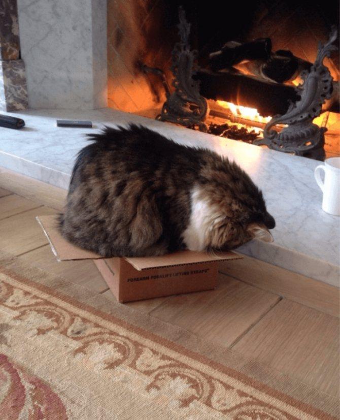 Причины неравнодушия кошек к картонным конструкциям