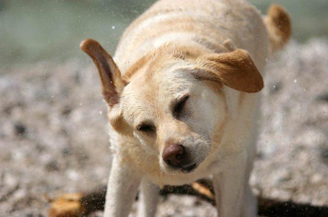 Причины, почему собака трясет ушами