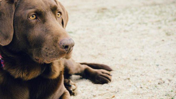 Причины появления чумки у собак