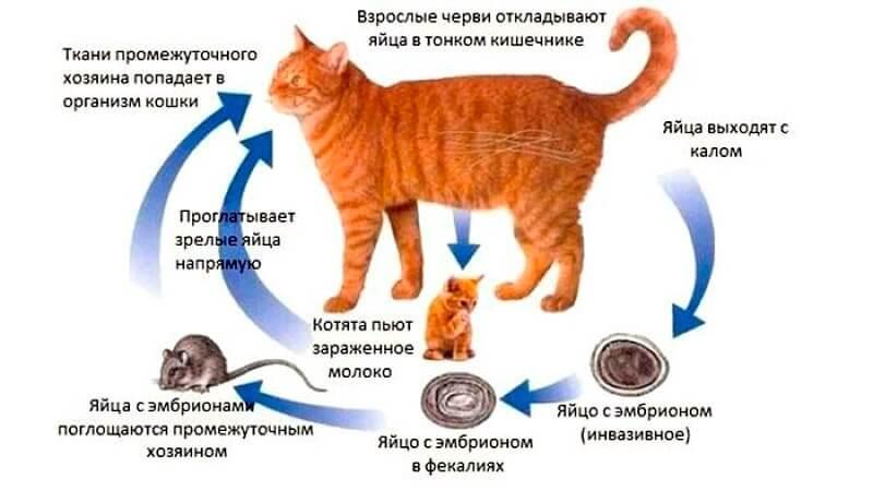 причины появления глистов у кота