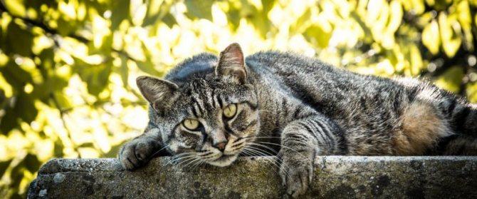 Причины появления шарика под кожей у кошки