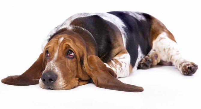 Причины того что у собаки отказывают задние лапы