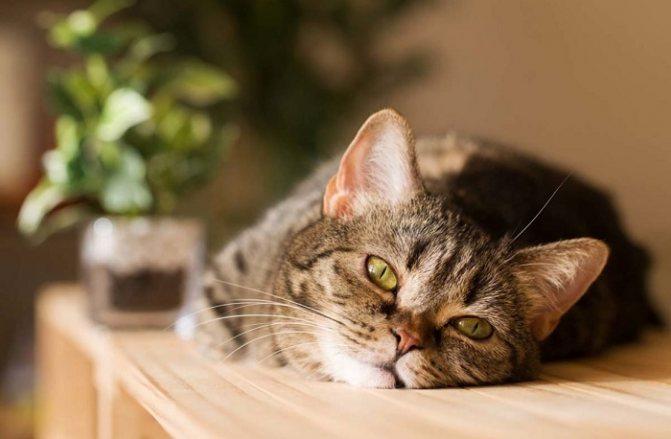 Причиы и способы устранения вздутия живота у кошки