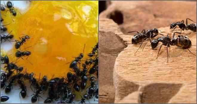 приманка муравей