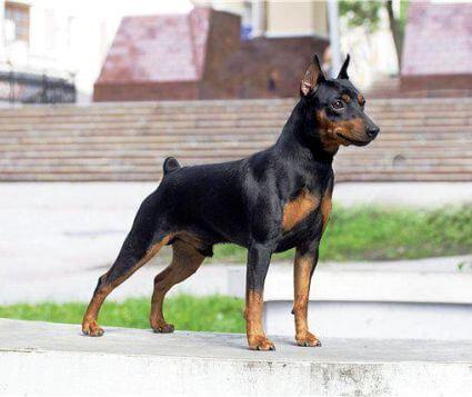 Пример купированной собаки породы цвергпинчер.
