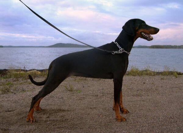 Пример некупированной собаки породы доберман.