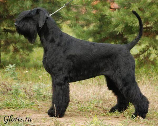 Пример некупированной собаки породы ризеншнауцер.