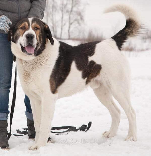 Пример некупированной собаки породы среднеазиатская овчарка.
