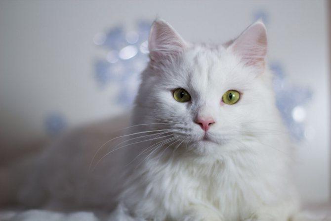приметы про белых кошек в доме