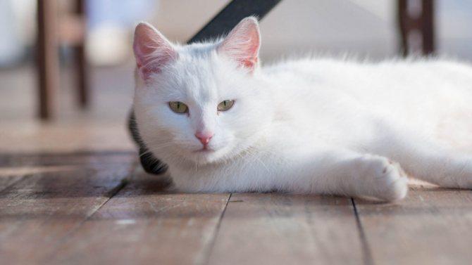 приметы про белых кошек