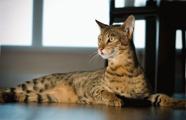 Приобрести такую кошку по карману далеко не каждому
