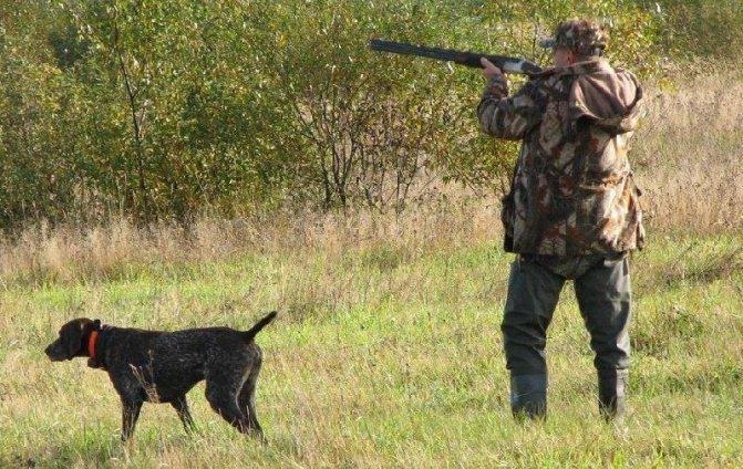 Приучение пса к выстрелам вблизи