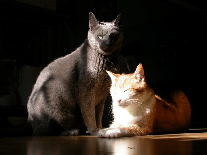 Приучить «нового» питомца к туалету намного легче, если в квартире уже имеются взрослые кошки