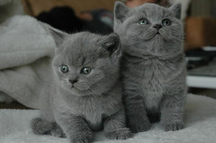 прививки британскому котенку
