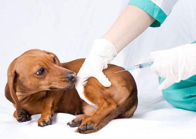Прививки для собак такса