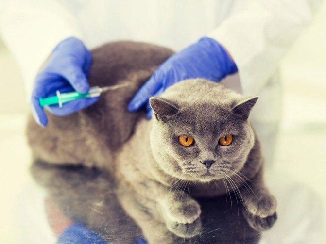 Прививки котятам шотландцам обязательная вакцинация вашего питомца