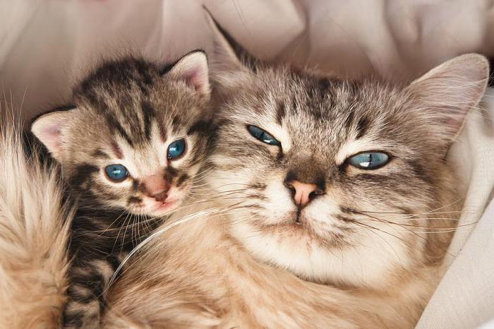 признаки беременности у кошек на ранних сроках