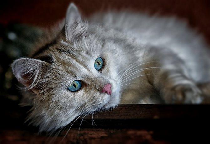признаки лептоспироза у кошек