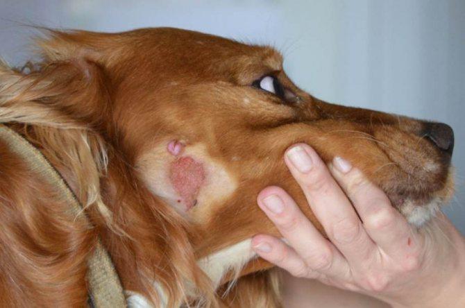 Признаки лишая на ушах собаки