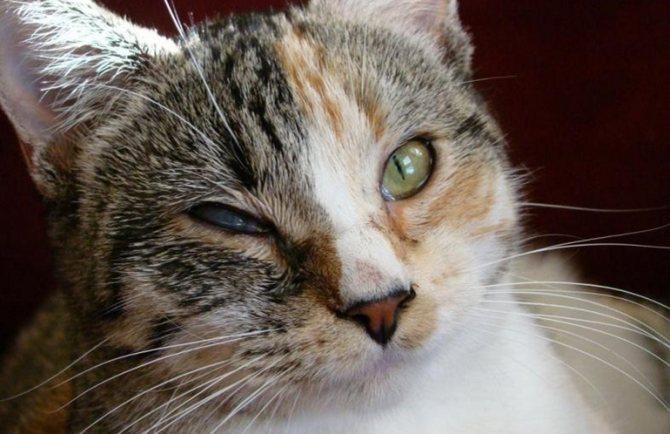 Признаки ринотрахеита у кошек