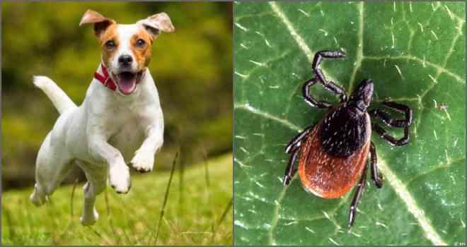 Признаки заражения и лечение пироплазмоза у собак